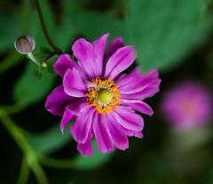 Over Pedaled. (Omygodtom) Tags: colorful pink green nature macro flora flower algorithm outdoors oregon