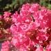 crepe myrtle flower cluster 2