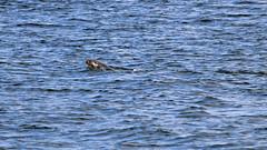 Halichoerus grypus - a grey seal in Stockholm (Franz Airiman) Tags: halichoerusgrypus säl seal sälis sälx grayseal greyseal animal djur stockholm sweden scandinavia wild vild vattendjur mammal watermammal däggdjur vattendäggdjur gråsäl strömmen stockholmsström