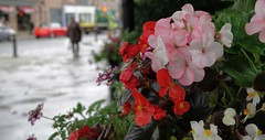 Flowers In The Rain. Sept 2019 (Simon W. Photography) Tags: rain flowers flowerlove flowerporn flowering floraandfauna flora fauna weather dof depthoffield nature mothernature sonyrx10iv sonyrx10m4 sonyuk sony sonydscrx10m4