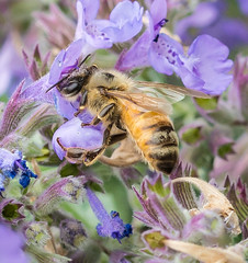 Surrounded. (Omygodtom) Tags: outdoors tamron90mm macro elitebugs existinglight honeybee insect bokeh bug flora nature natural oregon algorithm