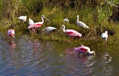 Roseate Spoonbills and White Ibises, Florida (klauslang99) Tags: klauslang animals roseate spoobills white ibis water nature naturalworld northamerica florida