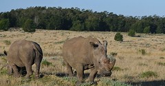 White Rhino (Ceratotherium simum) (selinamochrie) Tags: southafrica africa capetown mammal warmblooded species nature outdoors wildlife