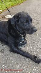Ein bissle feucht hinter den Ohren (Steffi.K.) Tags: hund labradorretriever dog wasser nass wet feucht schwarz black würmtal badenwürttemberg noir chien eau humide