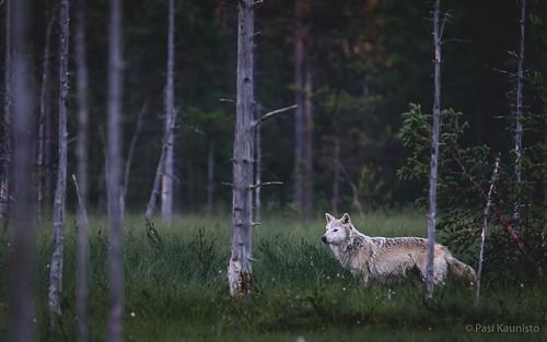 Alpha Wolf fan photo