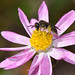 Native bees in the daisies