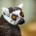 The Sly Mr. Lemur