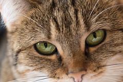 Look at me (Géraldine'') Tags: cat chat yeux eyes animal regard look