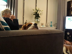 Trinny (Pete 1957) Tags: dog pet cavalier spaniel ckcs essex saffronwalden coathfamily
