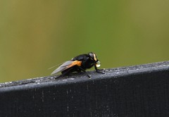Noon Fly (Mesembrina meridiana) (selinamochrie) Tags: scotland uk bird species nature outdoors wildlife invertebrate fly insect