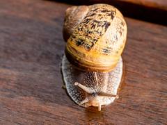 Expressive snail (Sylvie's Eye) Tags: snail escargot regard look eyes yeux macro panasonic
