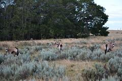 Gemsbok (Oryx gazella) (selinamochrie) Tags: southafrica africa capetown mammal warmblooded species nature outdoors wildlife