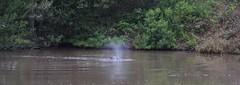 Hippopotamus(Hippopotamus amphibius) (selinamochrie) Tags: southafrica africa capetown mammal warmblooded species nature outdoors wildlife