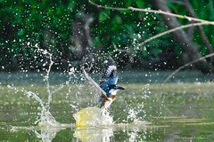 Belted kingfisher (RKop) Tags: armlederpark raphaelkopanphotography kingfisher d500 600mmf4evr 14xtciii