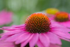 Thoughts of Summer (~DGH~) Tags: 2019 alberta canada edmonton pentaxk50 september coneflowers macro petals pink smcpentaxdfamacro100mmf28wr ~dgh~ summer lazyhazycrazydays memories fading