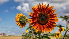 A sunny flower to brighten up a gray day (BraCom (Bram)) Tags: 169 bracom bramvanbroekhoven depthoffield dof nederland netherlands walcheren zeeland zoutelande akker akkerrand autumn bloeiend bloem bloemblaadjes blooming boerderij brown bruin closeup cloud farm field fieldborder flower herfst orange oranje petals scherptediepte sky sunflower sunny widescreen wolk zonnebloem zonnig