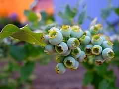 blueberries ripen (majka44) Tags: blueberries ripen macro green macroworld light fruit food vitamins garden mygarden bokeh colors 2019 nature