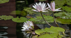 Balinese reflection (alain01789) Tags: waterlily flower fleur reflet reflection water leaves feuilles nature pond mare étang lotus