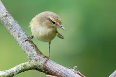 Chiffchaff-252 (davidgardiner8) Tags: birds garden eastsussex warblers chiffchaff