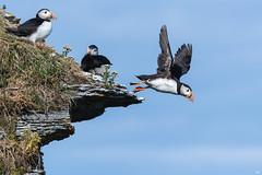 ''Piste de décollage!'' macareux moine-Atlantic puffin (pascaleforest) Tags: canada quebec côtenord faune wildlife wild nature nikon passion bird oiseau