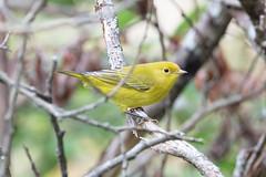 Yellow Warbler (maractwin) Tags: setophagapetechia birds cambridge danehypark yellowwarbler massachusetts unitedstatesofamerica