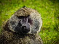 BAKARI (eliewolfphotography) Tags: baboon olivebaboon primates wildlife wildlifephotographer wildlifephotography nature naturelovers nikon naturephotography natgeo naturephotographer tanzania tarangire travel safari serengeti serengetinationalpark animals africa