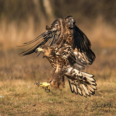 He obviously had an eye on someone! 😉 (Jambo53 ()) Tags: whitetailed eagle copyrightrobertkok crobertkok wildlife haliaeetusalbicilla zeearend arend adelaar roofvogel birdofprey raptor nature wingspread nikond800 seaeagle adler immature herfst autumn talons klauwen landing