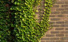 Ivy on the Wall (Mandy Willard) Tags: 365 1008 ivy brick wall