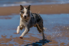 The Beach (FireDevilPhoto) Tags: dog pets animal canine beach purebreddog nature outdoors sea mammal water cute domesticanimals summer playful playing running puppy oneanimal looking fun bordercollie redmerle sony a9 zeiss