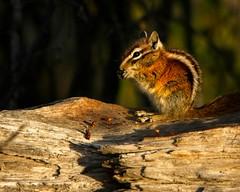 Chipmunk (wfgphoto) Tags: log chipmunk sun color trees eat forage store