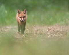 Innocence (T L Sepkovic) Tags: redfox fox foxkit babyanimals vulpesvulpes mammal wildlifephotography pawildlife canonusa canon5dmkiv lenscoat ruralpa wildlife