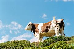 In Peru, in Peru, in den Anden ... (auqanaj) Tags: 20190814 kodakgold200 nikonafnikkor85118d nikonf100 ochsenalm analog atiso200 film meinfilmlab wwwmeinfilmlabde perulied nonsens kuh cow cattle rind alm alp fleckvieh himmel weide wise pasture meadow sky green grün blau natur nature thealps alpen alpine