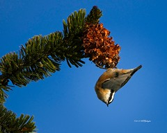 Red Breasted Nuthatch 2 (wfgphoto) Tags: redbreastednuthatch forage hang pine tree sun
