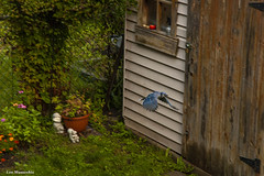 bluejay in flight (Lou Musacchio) Tags: bluejay nature feeding urbanbackyard
