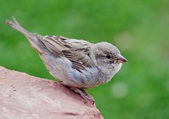 Female House Sparrow (Passer domesticus) (Susan Roehl) Tags: nationalparkstour2017 zionnationalpark springdale utah cliffroselodgeandgardens femalehousefinch sparrowfamily passeridae foundinmostpartsoftheworld smallbird nativetoeurope mediterraneanbasin asia introducedtousin1851 mostwidespread associateswithhumans tough adaptable aggressive bird animal eatsmainlyseeds hoppingonground smashedinsects sueroehl panasonic lumixdmcgh4 35x100mmlens handheld rock ngc coth5