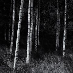 Into the birch wood. (Tim Ravenscroft) Tags: wood birch trees sweden strängnäs monochrome blackandwhite blackwhite hasselblad hasselbladx1d