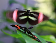 Wings to fly (and other things) (Robin Wechsler) Tags: butterfly insect wings nature