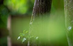 The Green Mist (Mandy Willard) Tags: 365 1608 leaf tree