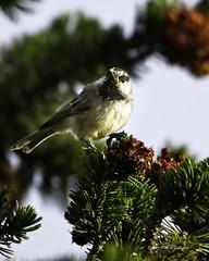 Mountain Chickadee (wfgphoto) Tags: mountainchickadee sun pine forage store eat