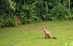 Fox (Mandy Willard) Tags: 365 1708 fox