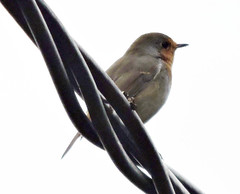 European Robin, Erithacus rubecula (asterisktom) Tags: trip2019westasia 2019 armenia september dilijan bird vogel ave 鸟 птица 鳥 pajaro europeanrobin erithacusrubecula robin flycatcher