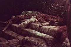 IMG_3920 (oblende) Tags: columbus columbuszoo animal animals film snake python reptile reticulatedpython daughteroffluffy kodak kodakproimage100 proimage canonrebel