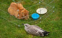Leo and the Chick (Mandy Willard) Tags: 365 0708 leo cat ginger bird gull
