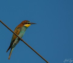 European bee eater (Bilel Tayar) Tags: europeanbeeeater beeaeter birds bird ornithology ornitho guepierdeurope mùerops meropsapiaster wild wildlife wildlifephotography nikon nikond5200 sigma150600 bileltayar ornithologie oiseaux nature viesauvage algeria africa aniaml animals animaux outdoors observations observation randonné hiking naturalist inaturalist sky ciel couleurs
