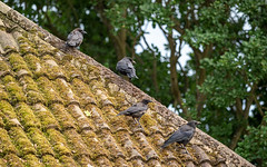 Crows (Mandy Willard) Tags: 365 0908 roof tiles trees birds crows