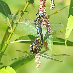 Couple d'Aeschnes constrictors / Mating pair of Lance-tipped Darners (alainmaire71) Tags: insecte insect odonata odonates libellule dragonfly aeschne darner aeshnidae aeshnaconstricta aeschneconstrictor lancetippeddarner nature quebec canada