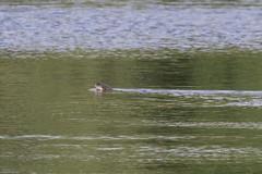 Photo of Otter
