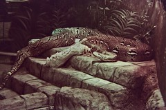 IMG_3922 (oblende) Tags: columbus columbuszoo animal animals film snake python reptile reticulatedpython daughteroffluffy kodak kodakproimage100 proimage canonrebel