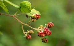 Blackberries (Mandy Willard) Tags: 365 0608 blackberries