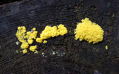Fungi (Mandy Willard) Tags: 365 1308 log fungi yellow